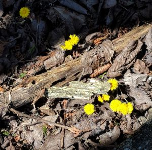 Coltsfoot - first flower of Spring