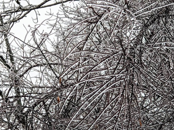 The rigidity of iced branches
